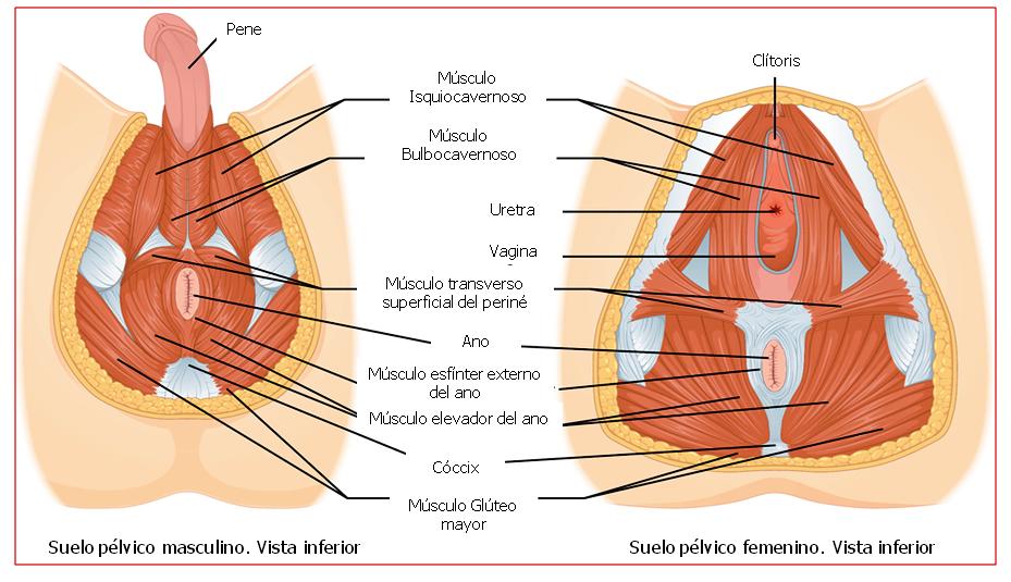Excepcional La Pelvis Y La Anatomía Del Perineo Fotos - Anatomía de ...